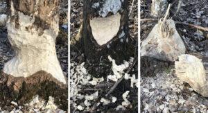 Bävern fäller träd vid Slipen i Tullingesjön - TSS Båtklubb